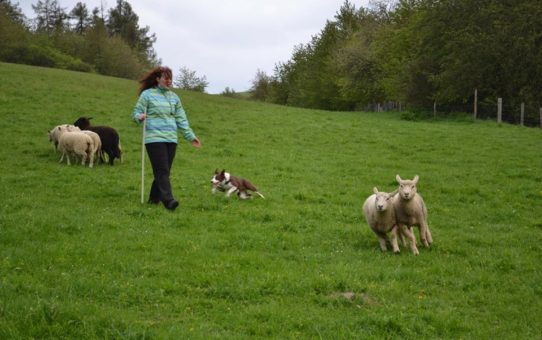 Herding clinic with Eliane Verboven